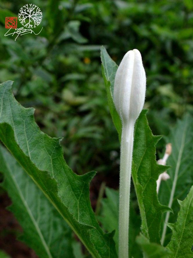 capullo flor