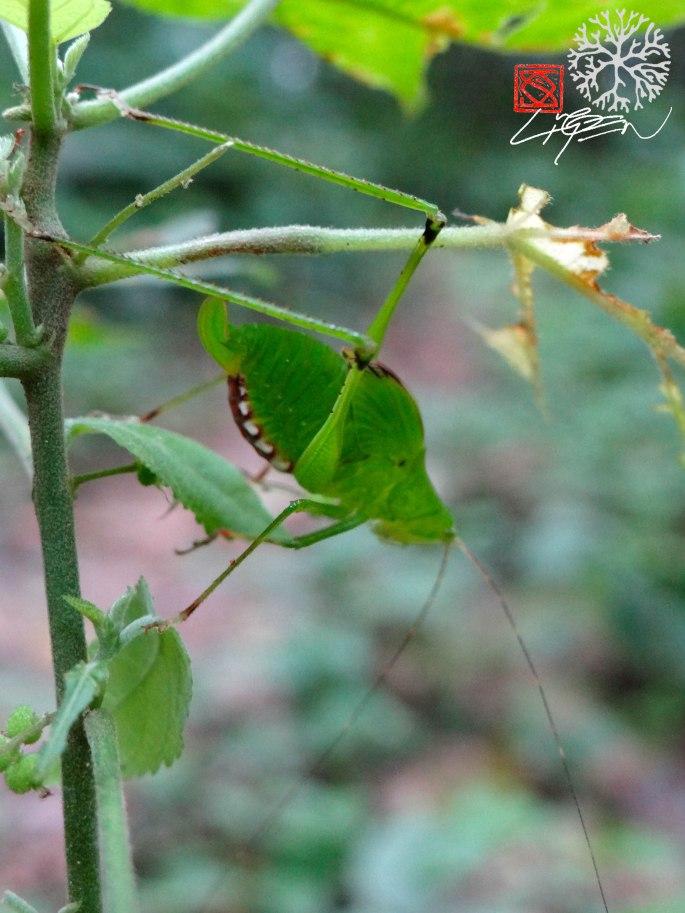 Chicharra verde