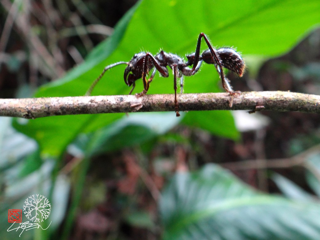 hormiga gigante1